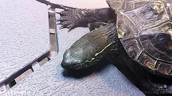 くさがめたわし 死んだように眠る亀