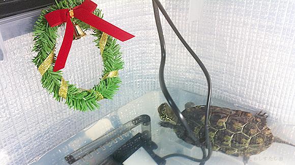 くさがめたわし クリスマス水槽 リース